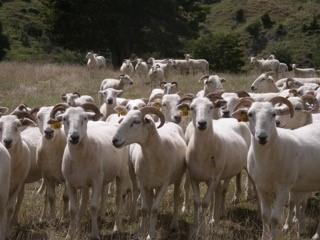Wiltshire Horn Starter Flocks