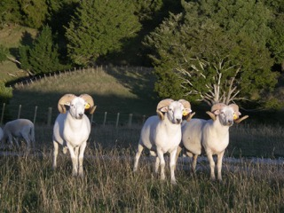 Wiltshire Horn Rams