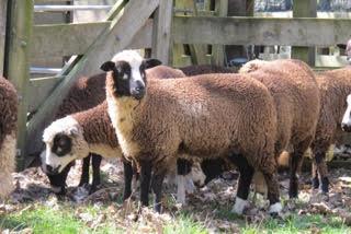 Arapawa Mature Ewes