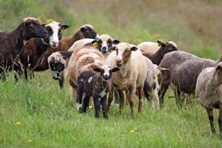 Arapawa Starter Flocks
