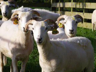 Wiltshire Horn Ewes